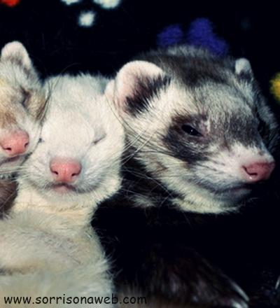 Ferrets - Sorriso na Web