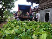 Bantuan Bibit Kakao Sambung Pucuk Sudah Tiba