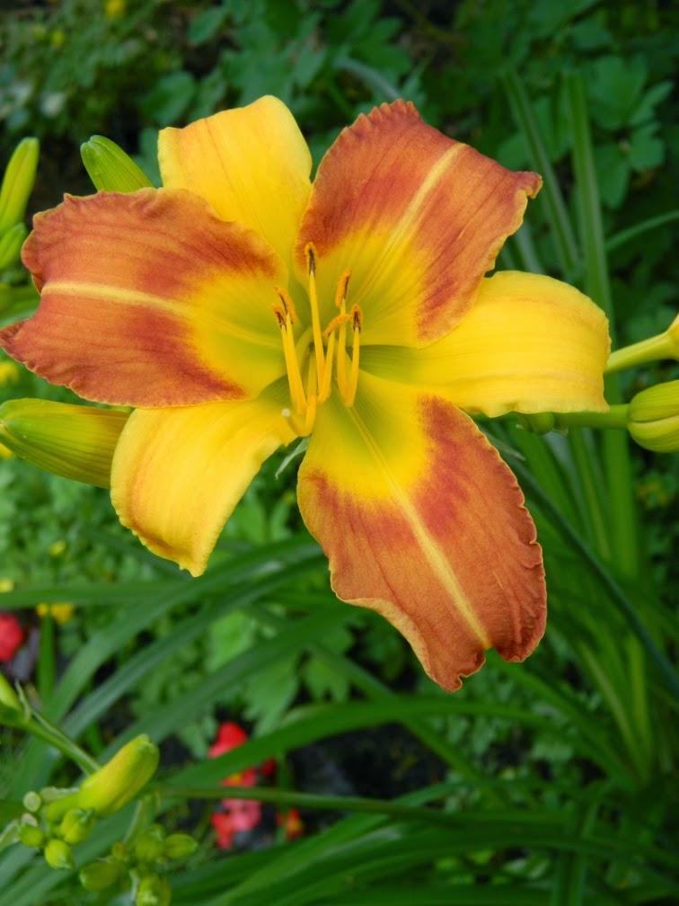 Frans Hals Hemerocallis daylily by garden muses-not another Toronto gardening blog