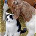 Cerita Pendek Anak Tiga Bahasa (Indonesia-Sunda-Inggris) Kambing yang Baik Hati-Embé nu Bageur-Goat with a Kind Heart
