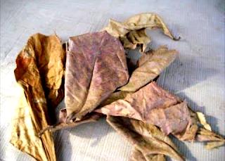 Manfaat dari daun ketapang kering