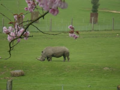 rhino and blossom at marwell zoo