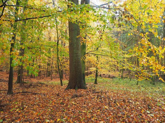 Herbstwald eiche buche leopoldshöhe bexterhagen