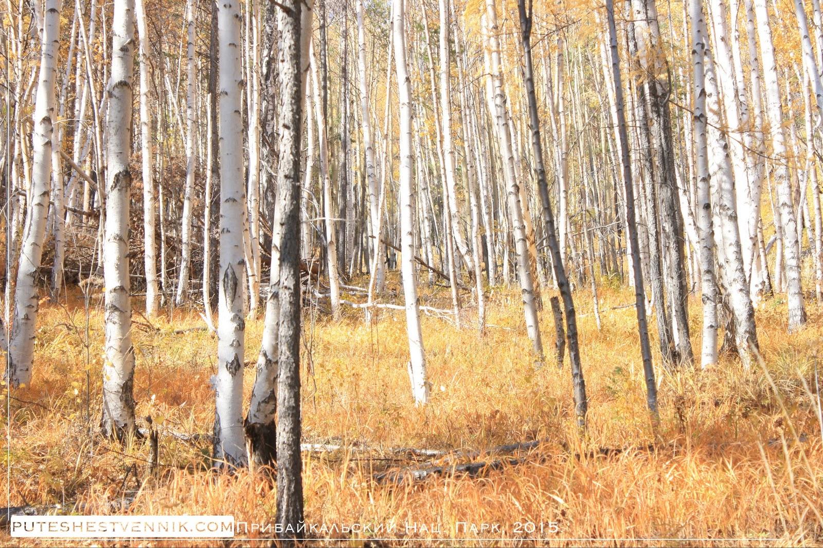 В березовом лесу осенью