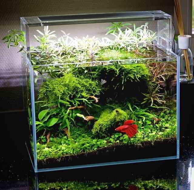 Gambar Aquarium Ikan Cupang