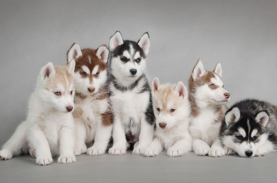 House Training A Small Dog How To Potty Train Siberian Husky Puppy