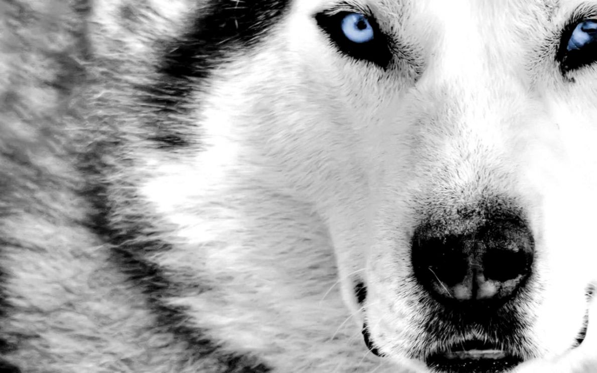 Wallpapers Quality Wallpaper Hd Dire Wolf
