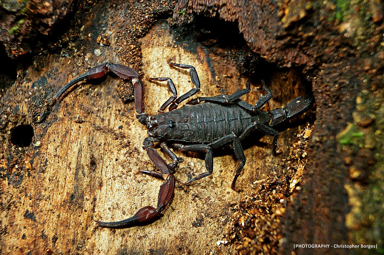 Escorpião negro com pinças abertas e a cauda escondida no tronco ilustra este post sobre o Shijing, o Livro das Canções.