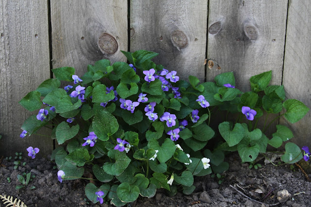wild violets, spring, violets, garden, Anne Butera, My Giant Strawberry