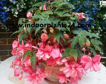 Angel wing begonia indoor plant