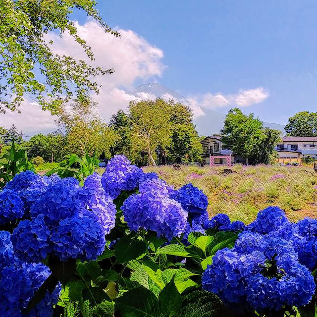 河口湖 八木崎公園 紫陽花
