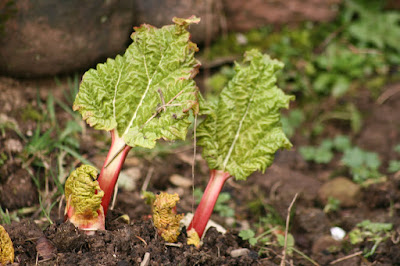 photo by Corina Duyn of Rhubarb shoots in garden