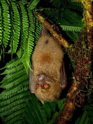 Murciélago fiyiano cara de mono Mirimiri acrodonta