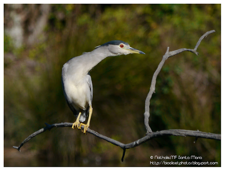 https://bioclicetphotos.blogspot.fr/search/label/Bihoreau%20gris%20-%20Nycticorax%20nycticorax