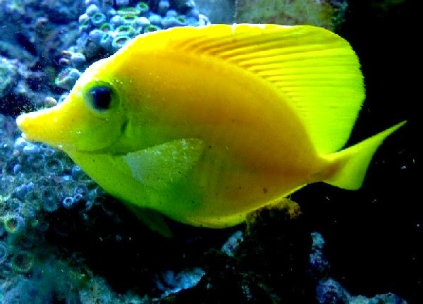 Tropical fish diseases ornamental aquarium fish for Fish disease ick