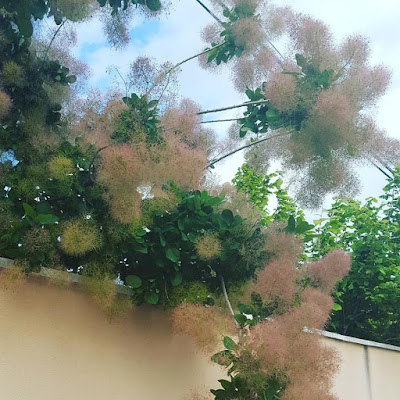 Provence #summeriscoming arbre à perruque Pensée positive Positive Thinking Count Your Blessings Little Things Gratitude