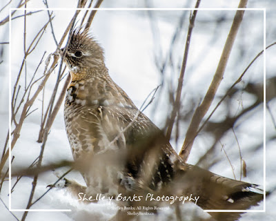 Ruffed Grouse running in the old orchard.  © Shelley Banks, 2016. All Rights Reserved.