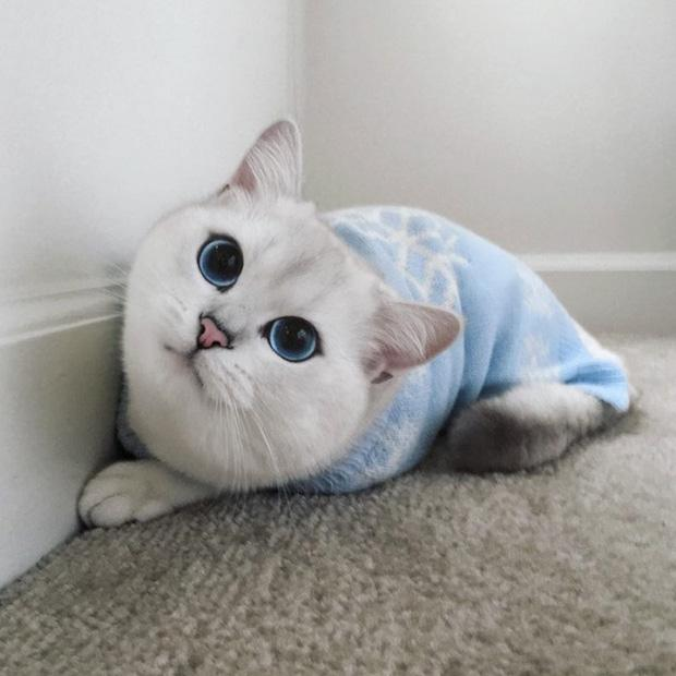 Soái ca mèo đốn gục trái tim các thiếu nữ bằng đôi mắt trong veo như đại dương xanh