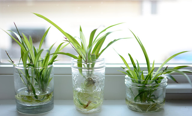 أفضل 5 نباتات تتكاثر بسهولة في الماء