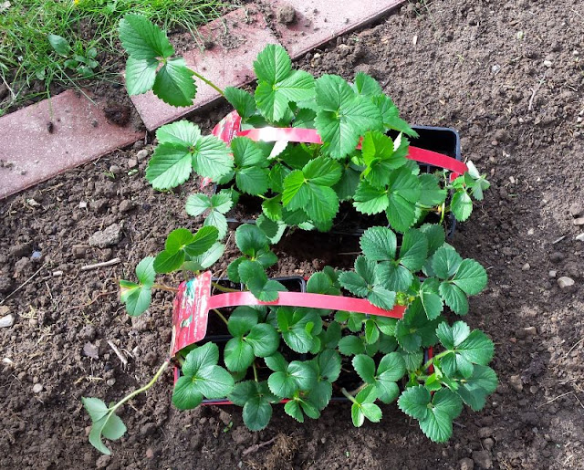 Unterwegs im Garten: Erdbeerbeet anlegen. Auf Küstenkidsunterwegs zeige ich Euch, wie Ihr schnell ein Erdbeerbeet anlegt und Eure Erdbeer-Pflanzen gut ins Beet setzt.