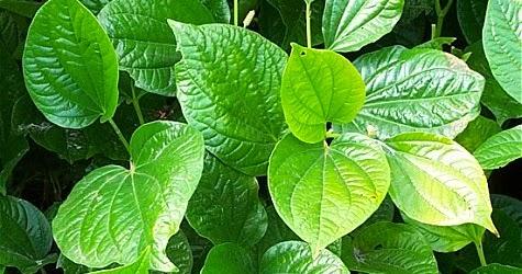 Contoh kelompok tanaman dapur dan tanaman obat