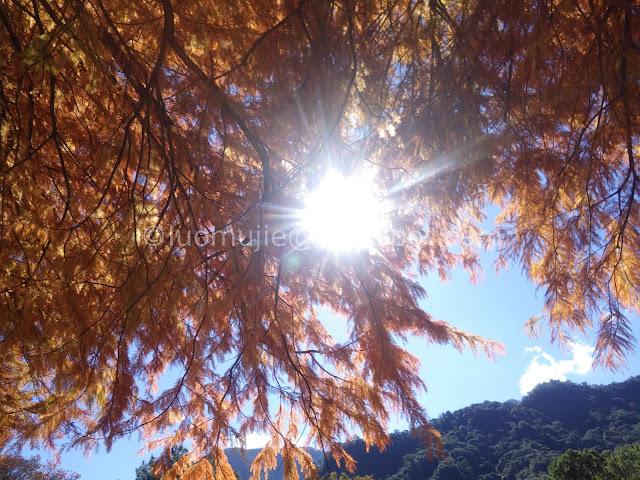 Taiwan Aowanda (奧萬大) maple season - bald cypress