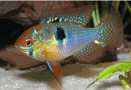 10 Ikan Hias Air Tawar Terindah Jenis German Blue Ram