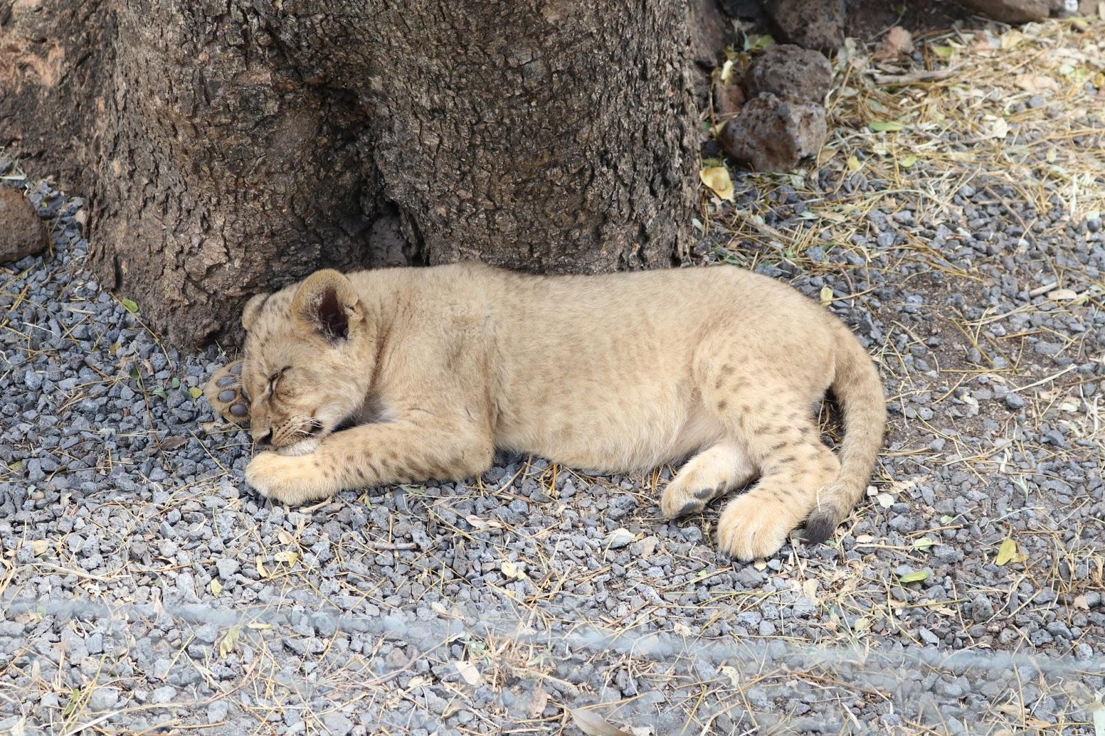 Casela Lion Cub