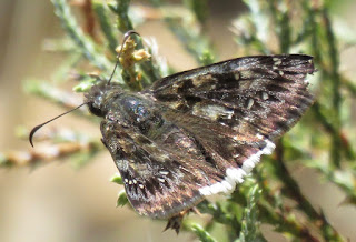 Erynnis tristis, Mournful Duskywing