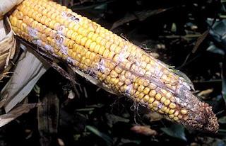 Nấm mốc phát triển trên bắp sau thu hoạch.