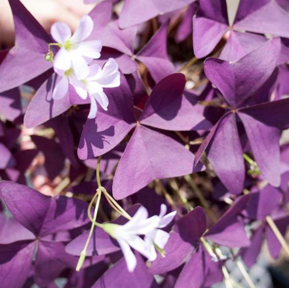 purple oxalis a trendy plant project inside d 39 int rieur aix en. Black Bedroom Furniture Sets. Home Design Ideas