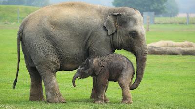 Contoh Descriptive Text Tentang Hewan elephant (gajah)
