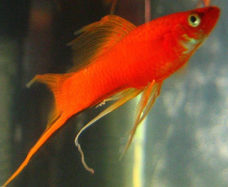 Gambar Ikan Platy Swordtail