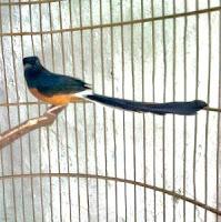cara perawatan burung murai kontes