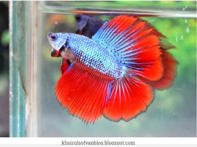 Ikan Hias Cupang Termahal Sebagai Aduan Pada Tahun 2016 2017 Budi Laksono