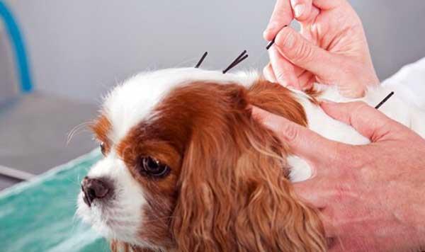 Acupunturista veterinário