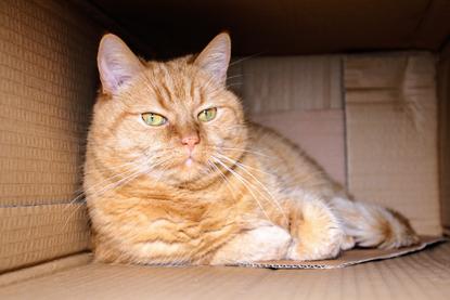 ginger cat in cardboard box