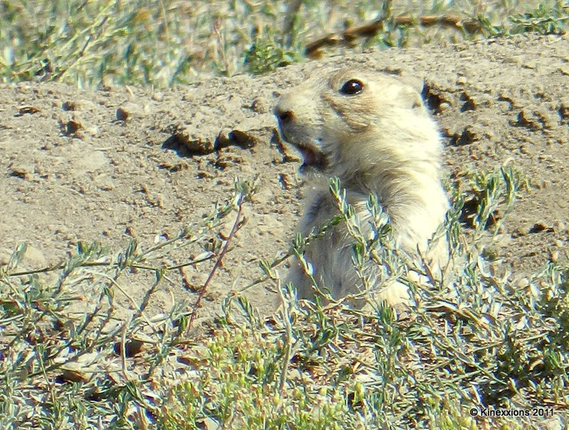 Do Prairie Dogs Store Food Caches