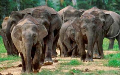 populsai gajah