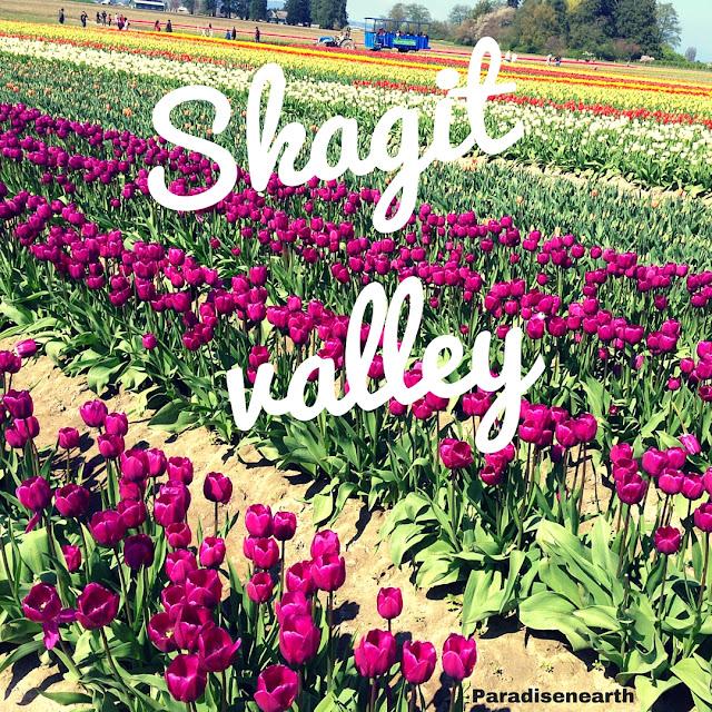 Skagit Valley Tulip Festival Paradisenearth
