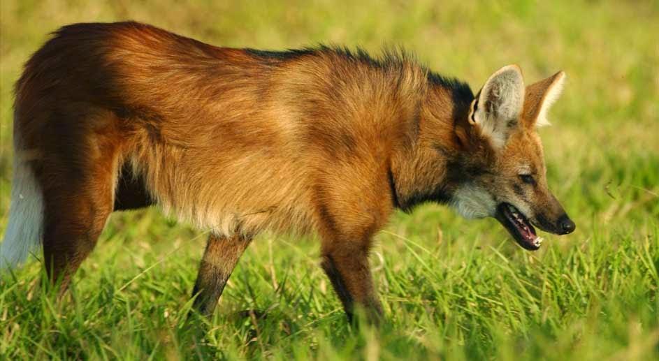 Reserva Natural Serra do Tombador, Fundação boticário de proteção a natureza, RPPN, Unidade de conservação, conservação, lobo guará, animais, wildlife