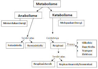 Proses Mekanisme Pengertian Metabolisme, Anabolisme & Katabolisme