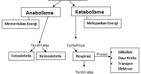 Metabolisme – Pengertian, Proses, Contoh dan Fungsinya