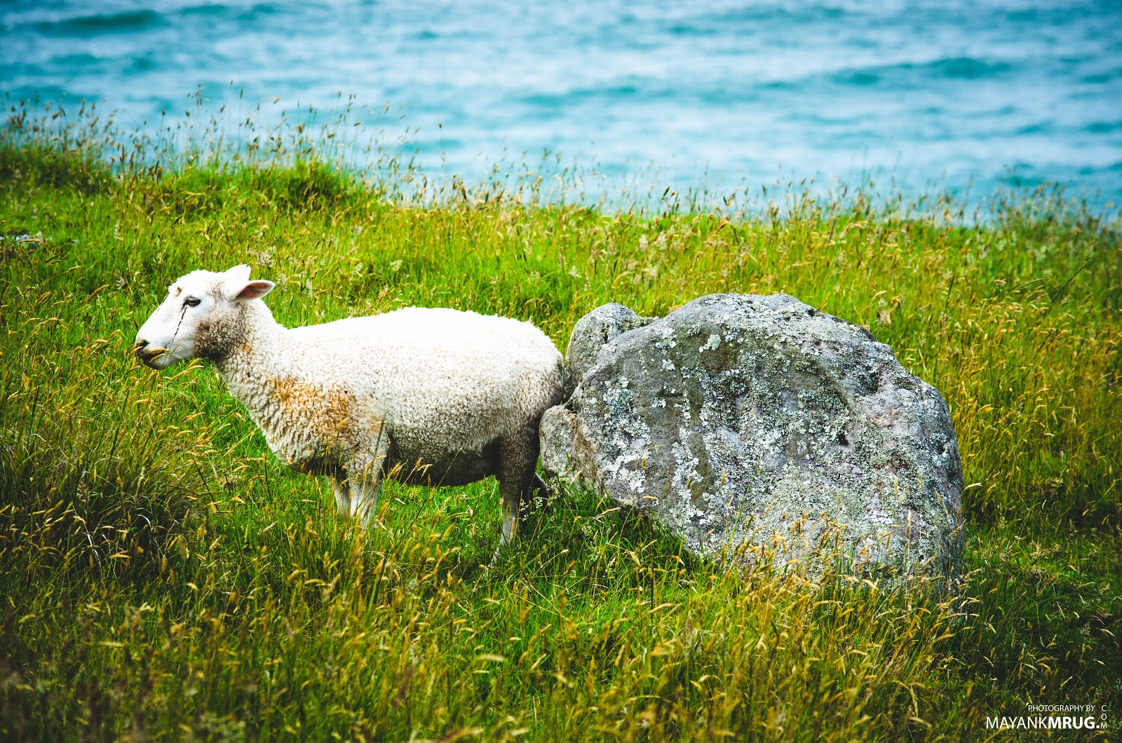 Sheep + Rock