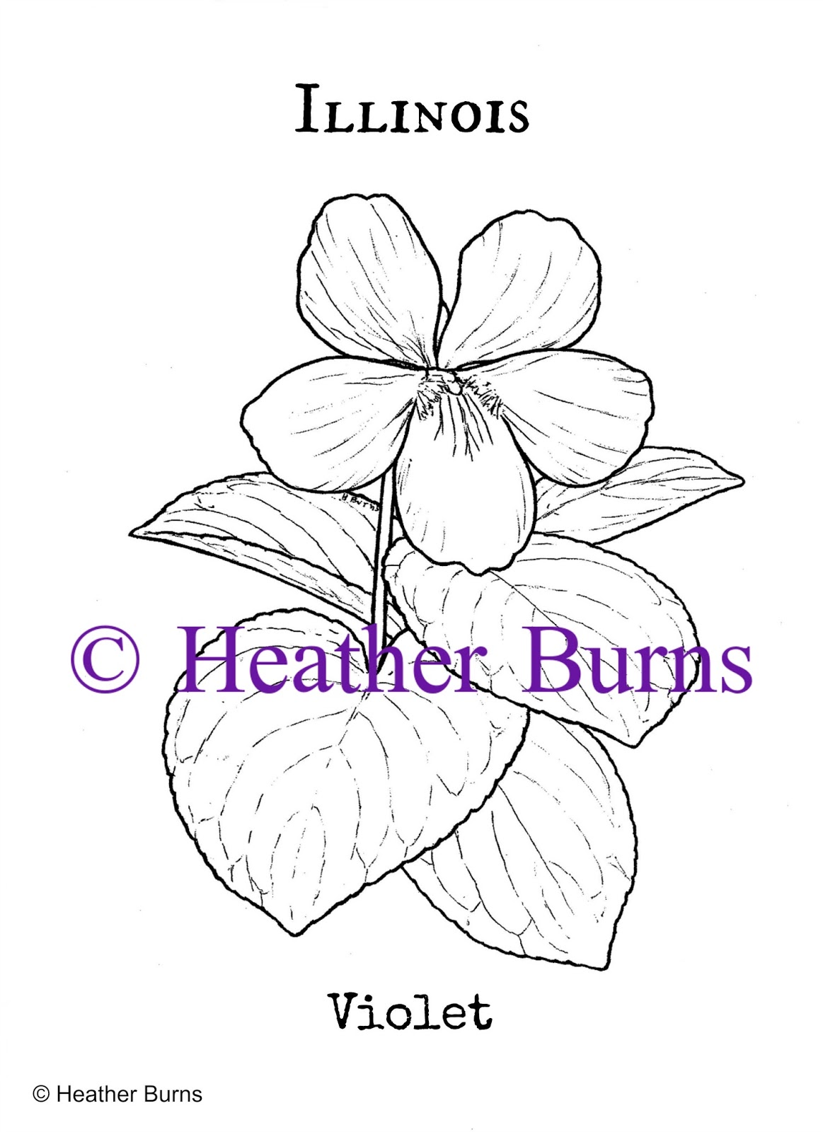 State Flower Coloring Book Illinois State Flower Violet