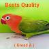 OPALINE FISCHERI - LOVEBIRD BIOLA