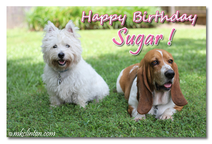Bentley Basset Hound and Pierre Westie smiling Happy birthday Sugar meme