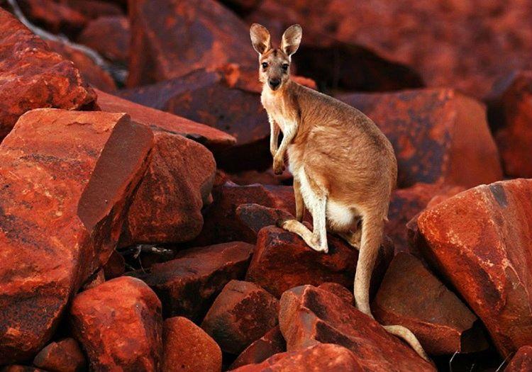 Avustralya kangurusu başka cograflayarda yaşayan kangurulara istinaden daha iri ve güçlüdür.
