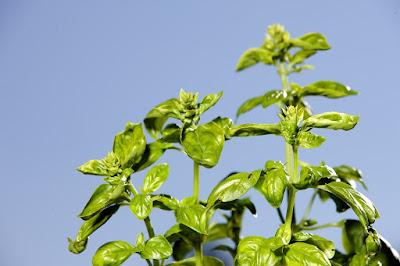 Manfaat Kesehatan, herbal, Manfaat Tanaman Herbal, basil, manfaat basil, kandungan gizi basil, kegunaan basil, tanaman basil,