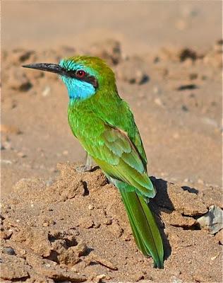 Abejaruco esmeralda Merops orientalis